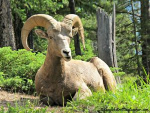 IMG_Big Horn Sheep