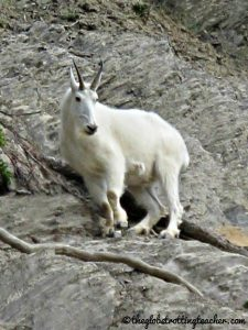 IMG_Wooly Mountain Goat Jasper