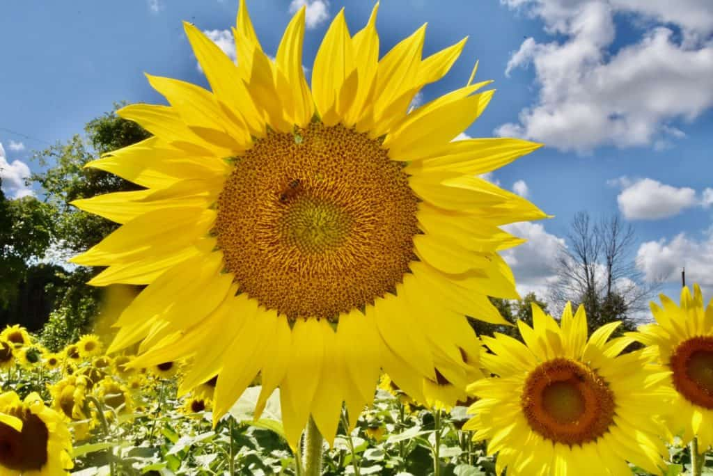 Visit a Sunflower field in Ottawa this summer