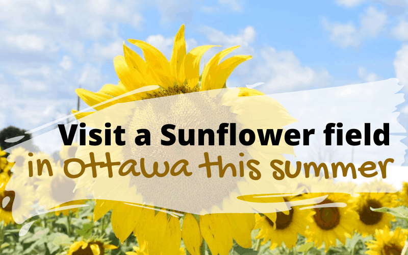Visit a Sunflower field in Ottawa this summer
